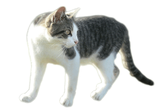 cat with haki in transparent background